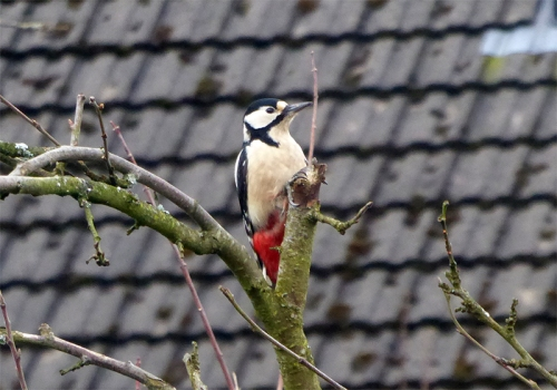 woodpecker on plum tree