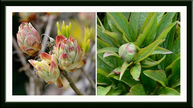 azalea and peony buds