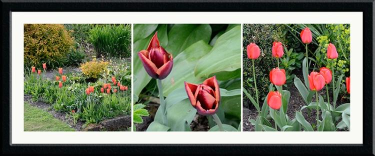 azalea tulips evening