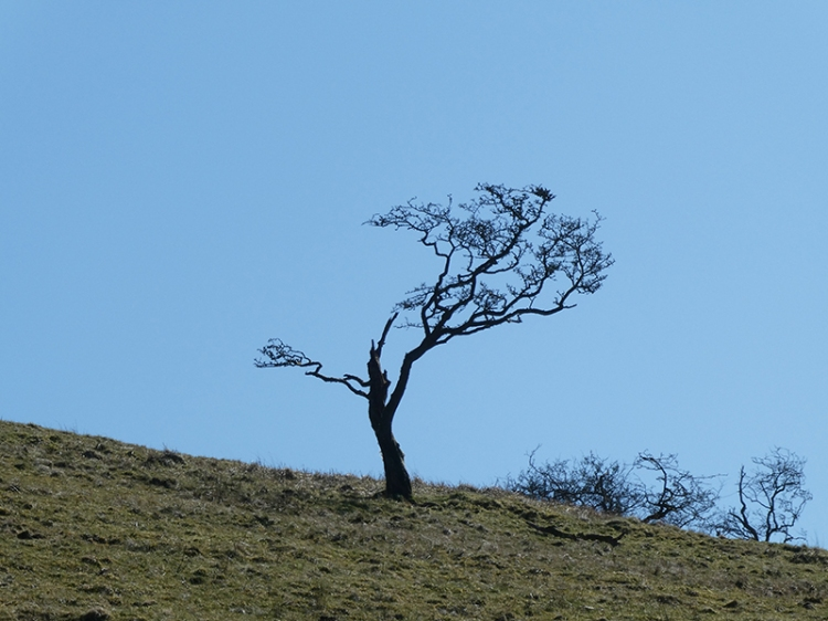 balsted tree