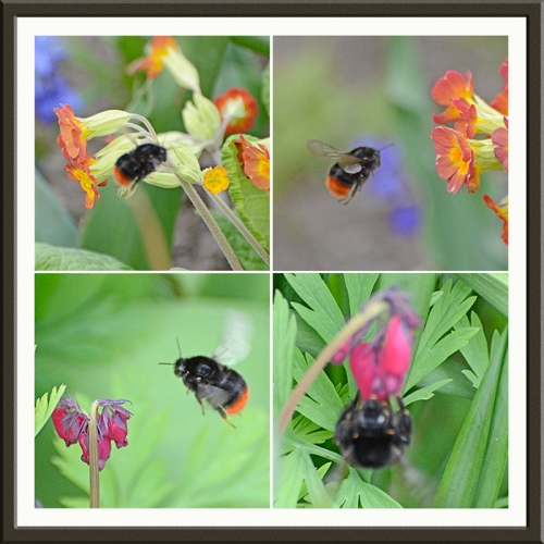 bee on cowslip