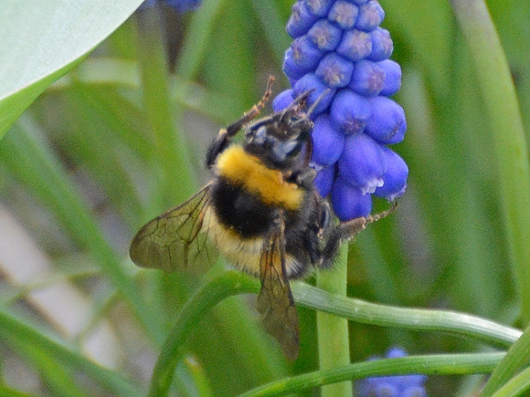 bee on hyacinth