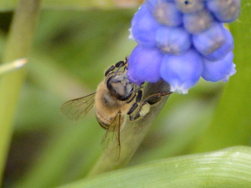 bee on hyscinth