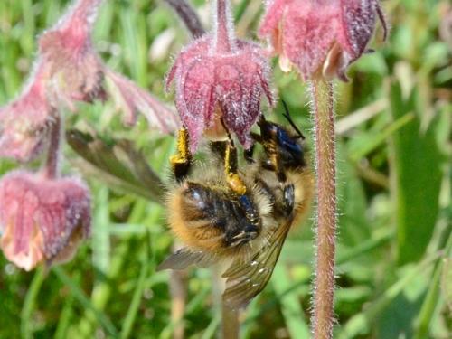bee on wild geum