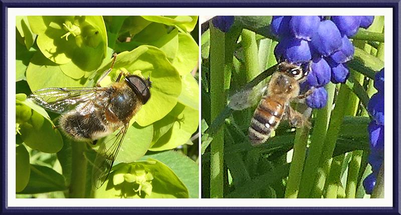 bees euphorbia hyacinth