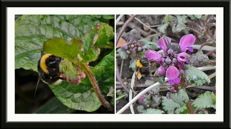 bees on lamium and comfrey