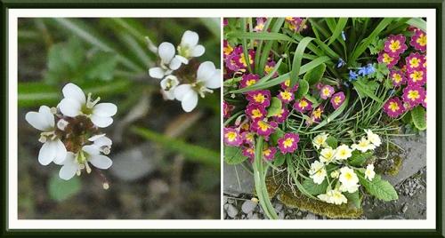 bittercress and primroses