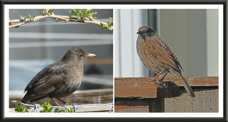 blackbird and dunnock on fences