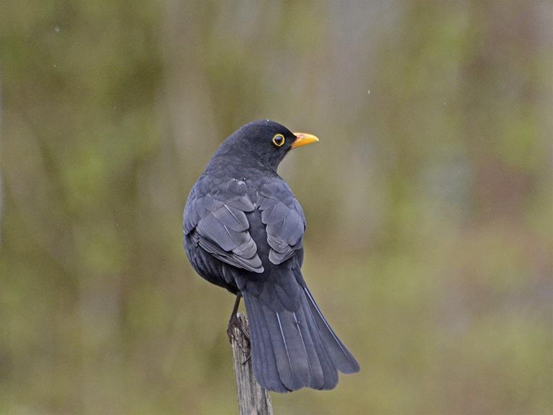 blackbird in filmstar mode
