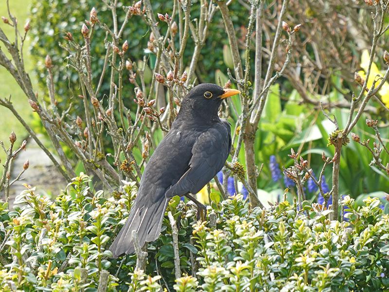 blackbird on hedge