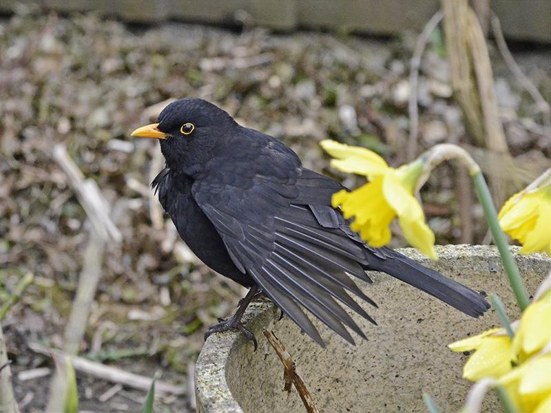 blackbird wings splayed