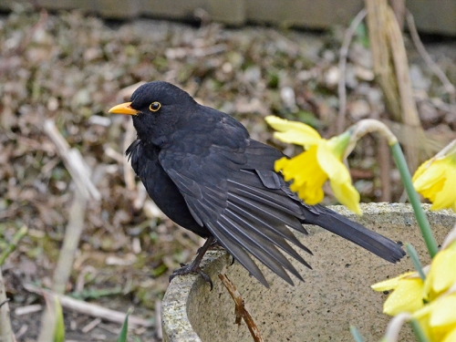 blackbird wings splayed