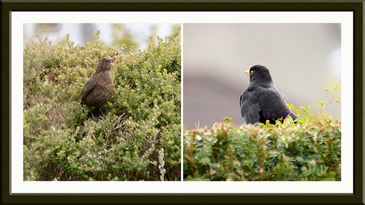 blackbirds nesting evening