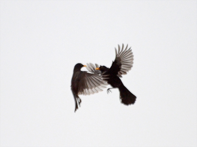 blackbirds sparring