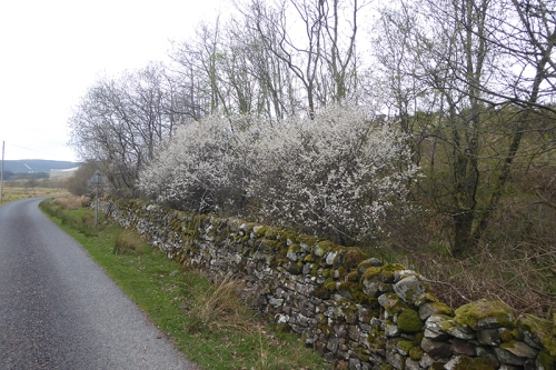 blackthorn cleuchfoot road