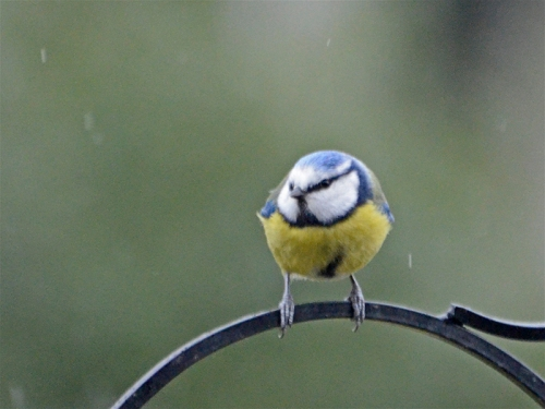 blue tit april