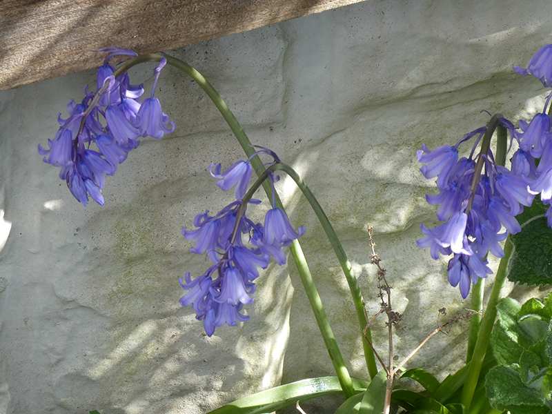 bluebell in garden