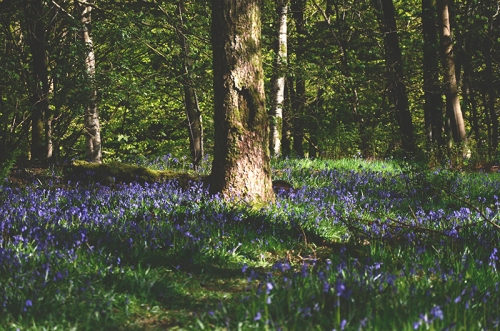 bluebells Apr 30 1