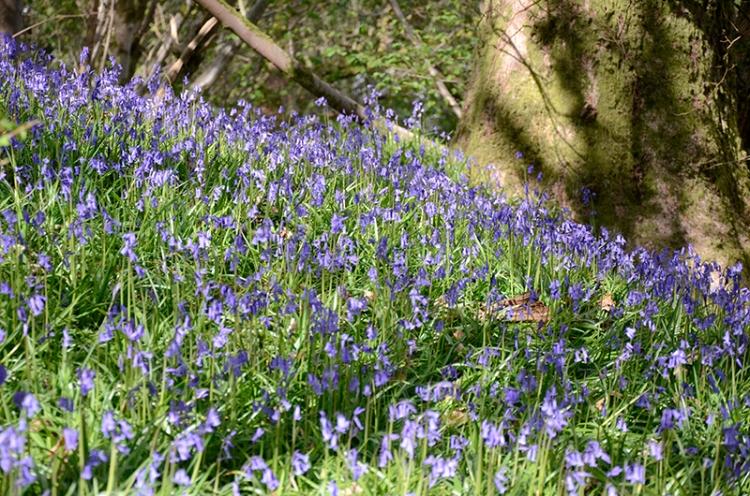 bluebells Apr 30 3