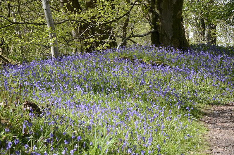 bluebells Apr 30 4