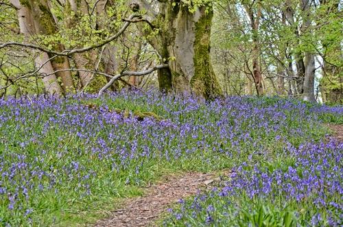 bluebells april 1