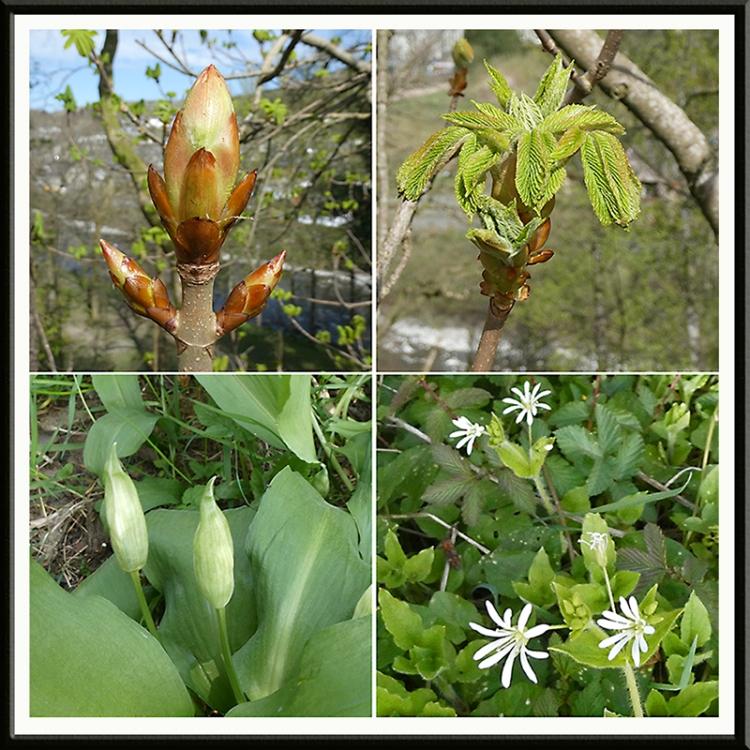 buds, leafs, garlic and stichwort