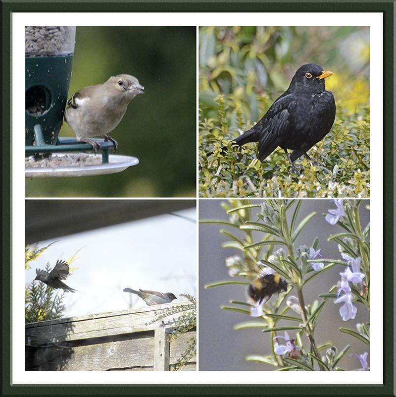 chaffinch, blackbird, sparrows, bee
