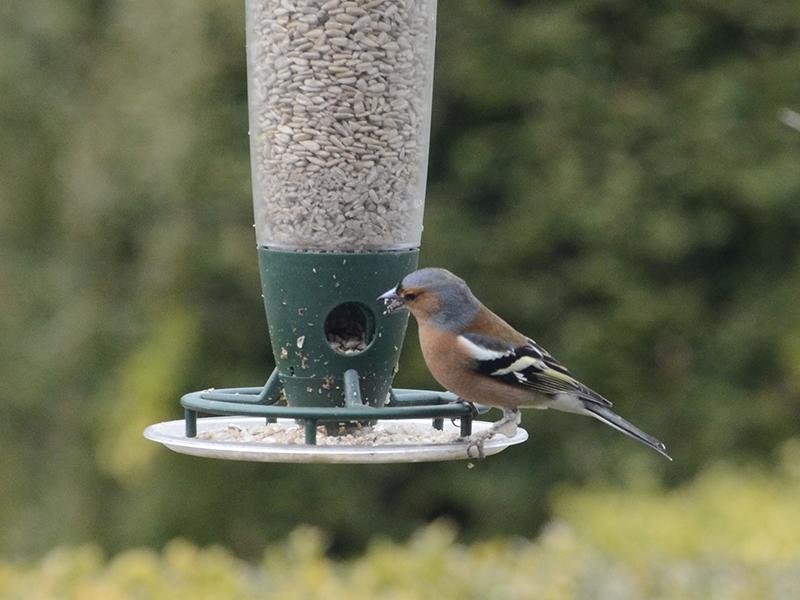 chaffinch on feeder