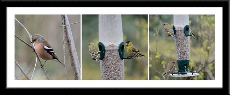 chaffinch, siskins, greenfinches