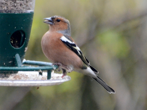 chaffinch swallowing