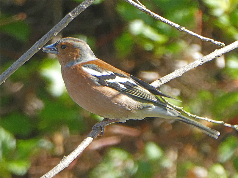chaffunch perching with seed