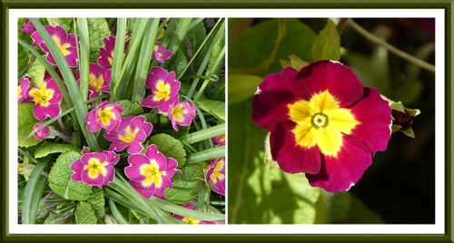 cheery primroses