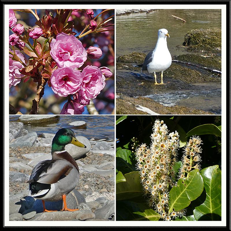 cherry gull. mallard, laurel