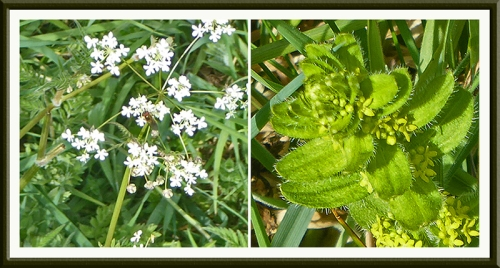 cow parsley and another