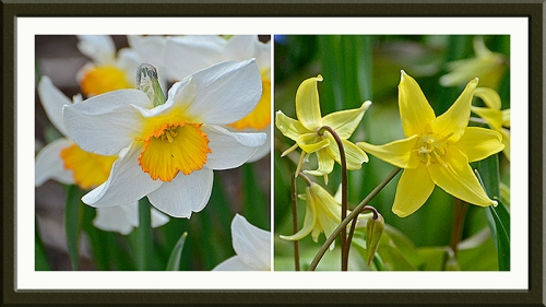 daffodil and trout lily