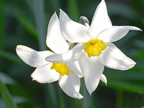 daffodil pair