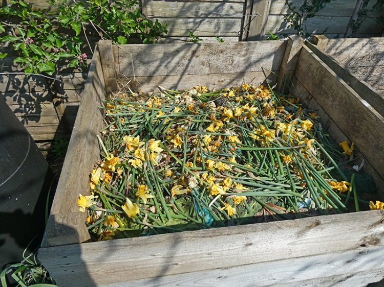 daffs in compost