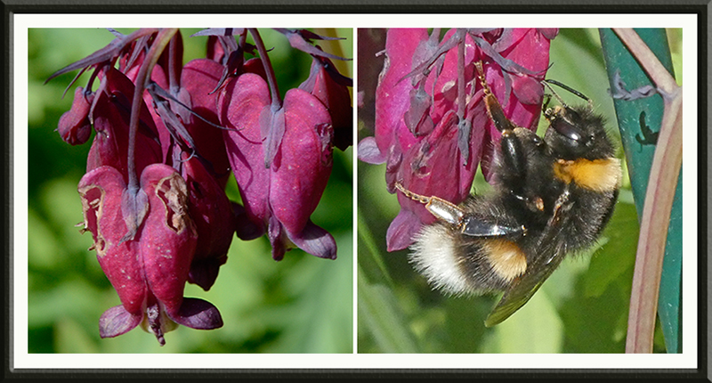 damaged dicentra and bee