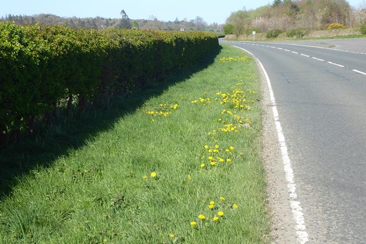 dandelions on A7
