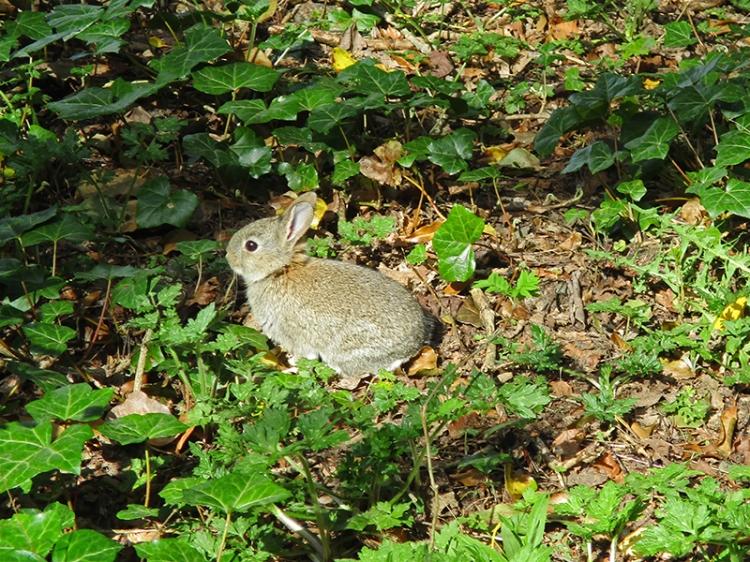 deniis rabbit