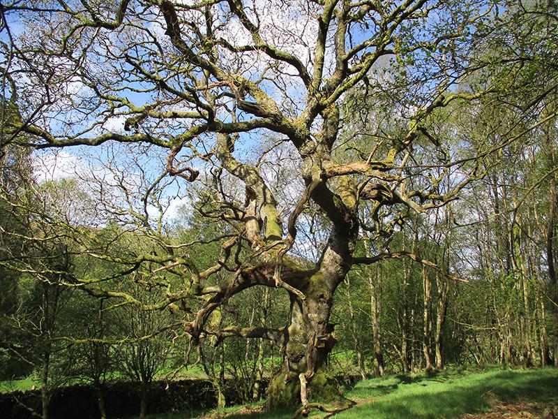 dennis's tree