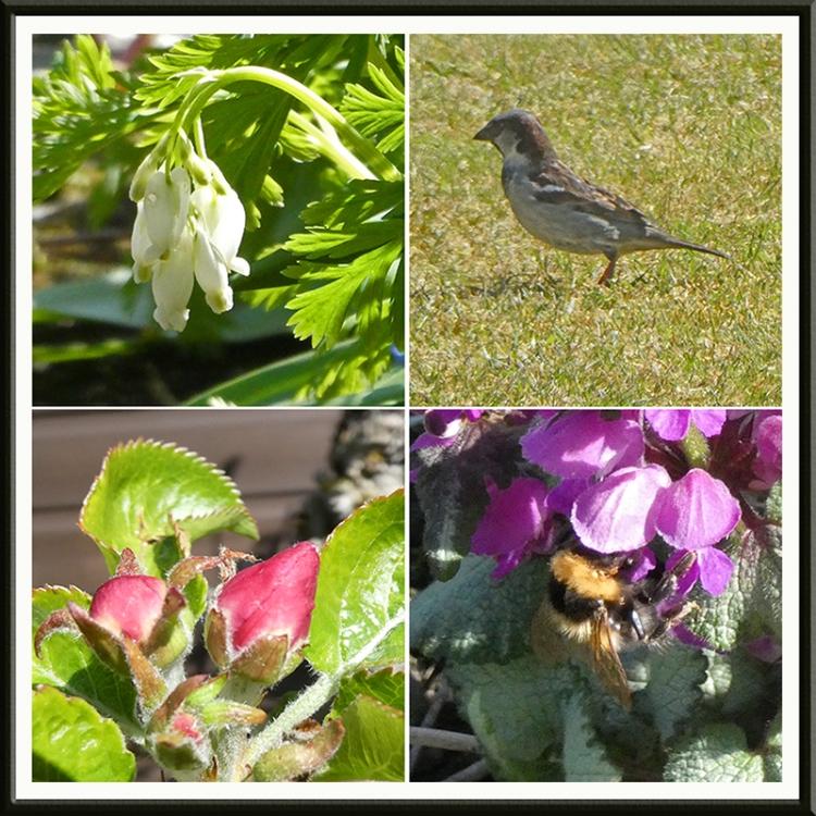 dicnetra, sparrow, apple blossom, bee