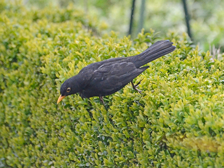 diving blackbird