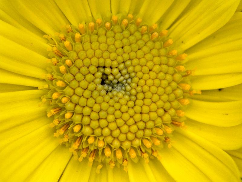 doronicum close up