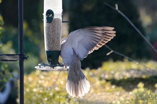 dove on feeder 1