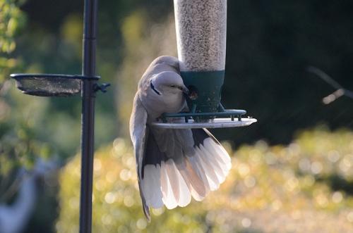 dove on feeder 2