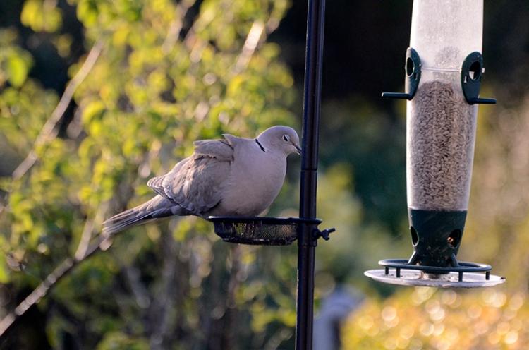 dove on feeder 3