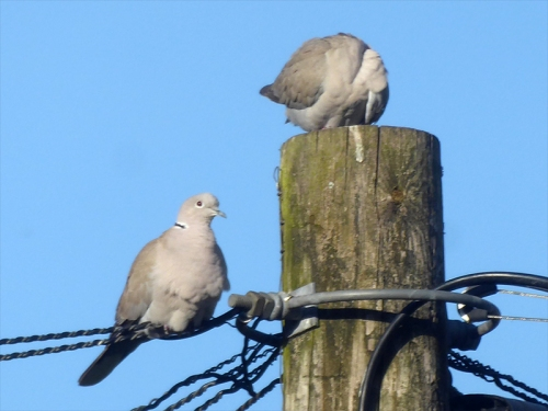 doves up pole