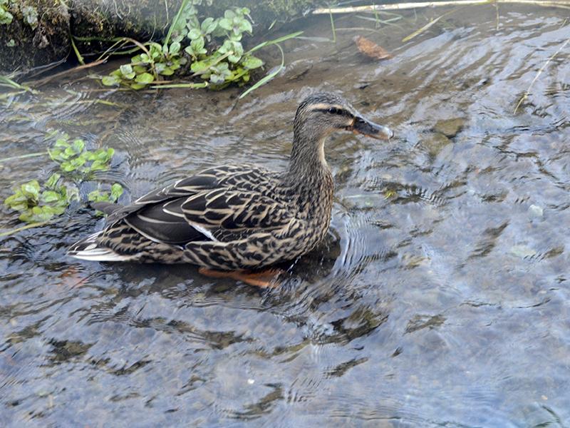 duck in dam