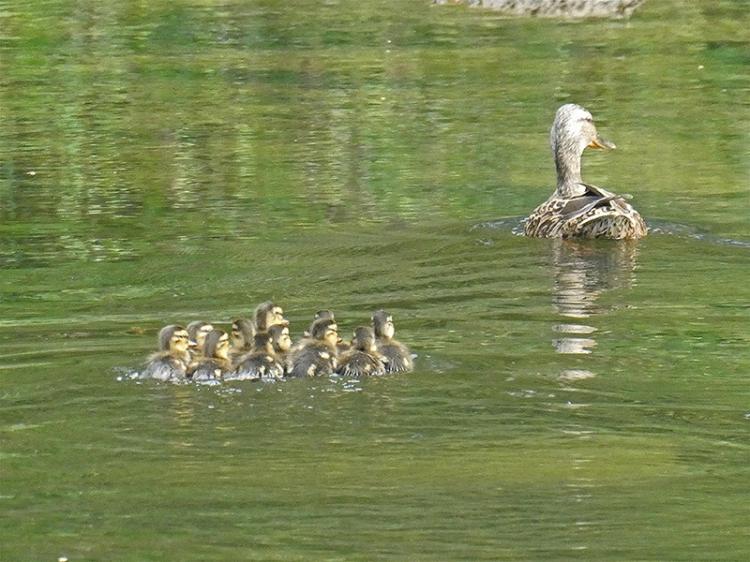 ducklings esk bromholm